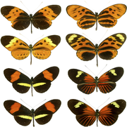 Heliconius_mimicry - Convergent Evolution  - Science and Research