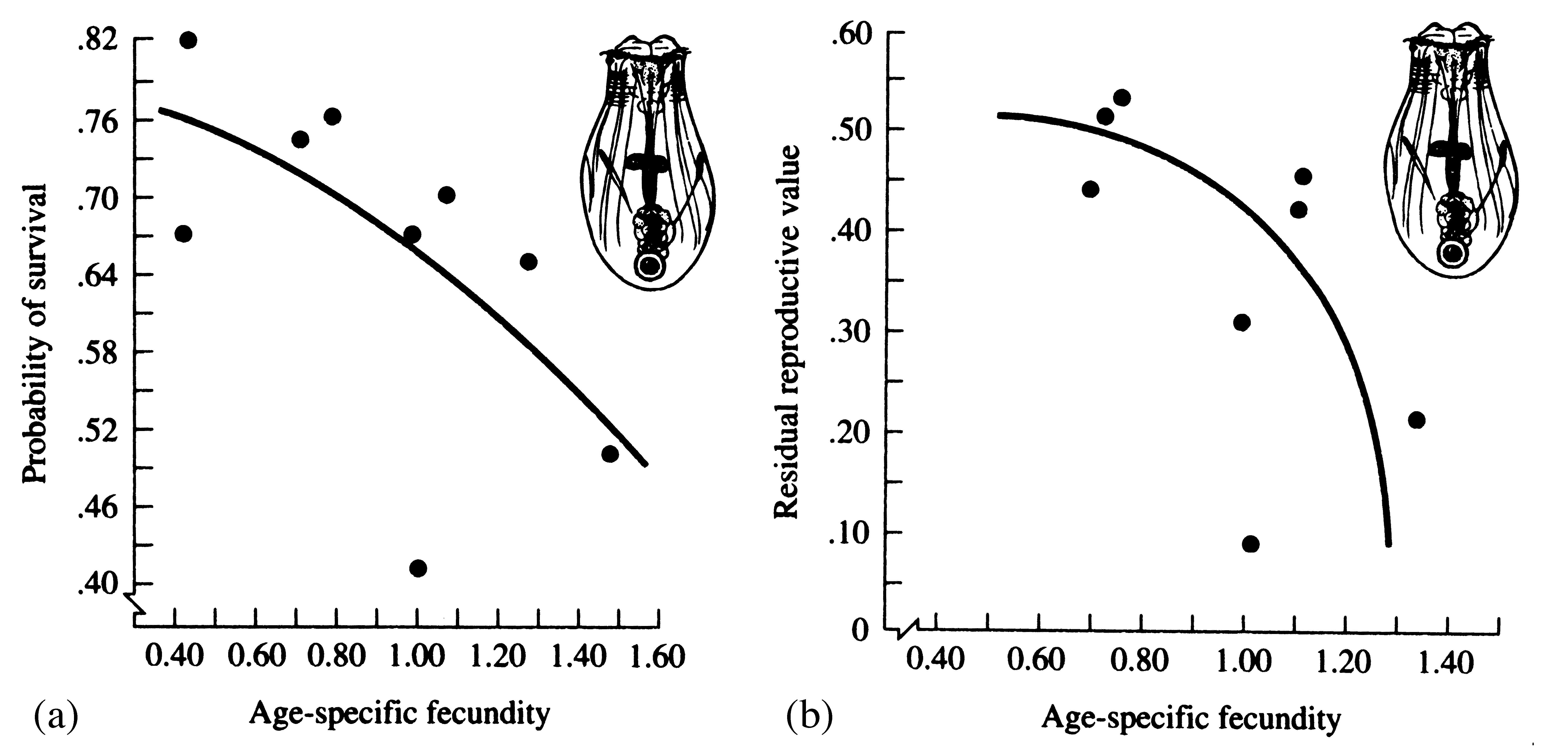 Probability Of Survival And Expectation Of Future Offspring Both Decrease  With Increased Age Specific Fecundity In The Rotifer Asplanchna.