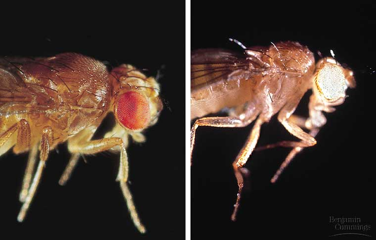 "vestigial drosophila crossed with white eyes Linkage mapping in drosophila written by j d the white, worm-like larvae mutation at this locus produces ""scarlet eyes,"" a phenotype with unusually."