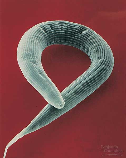 Nematoda Roundworms