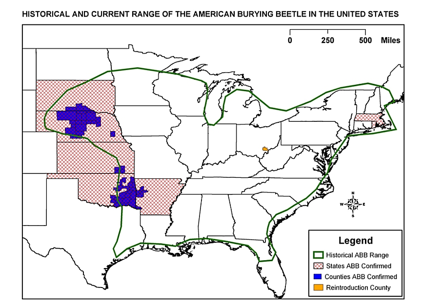 American Burying Beetle The Lesser Known Animals
