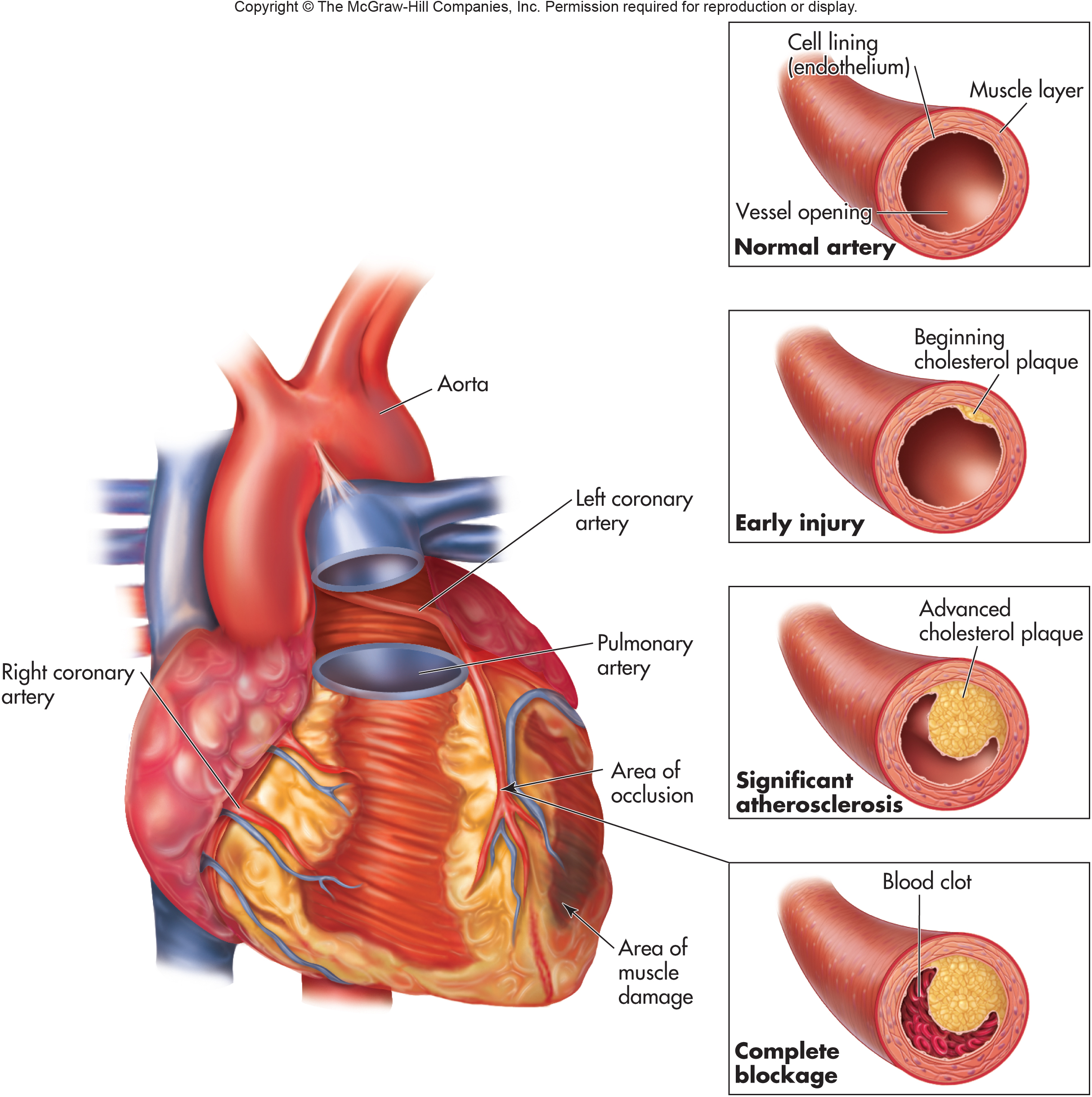 Circulatory System And Cardiovascular Disease