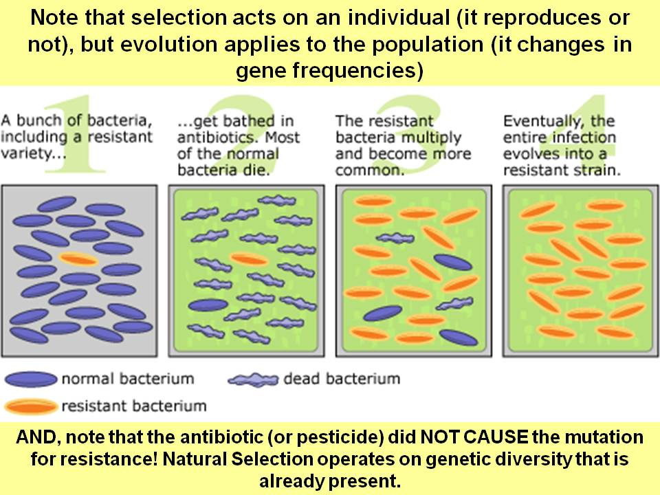 Evolution and antibiotic resistance essay