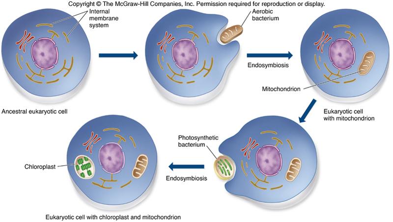 eukaryotic organelles essay