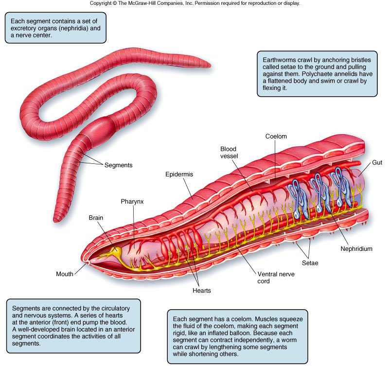 earthworm anatomy-#17