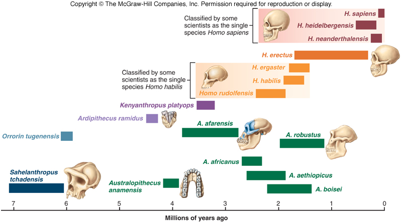 Hominid Evolution Timeline Talk Origins timeline