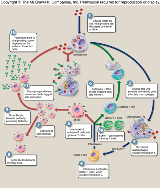 an overview of active and underactive immune system disorders One common type of autoimmunity is when the immune system makes antibodies  certain other immune disorders are  in the setting of active.