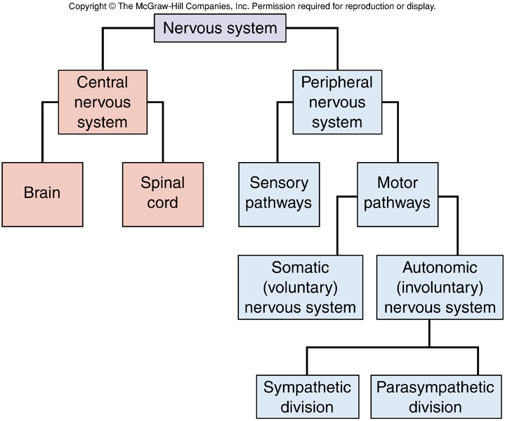 Nervous system division chart nervous system organization nervous system division chart nervous system ccuart Gallery
