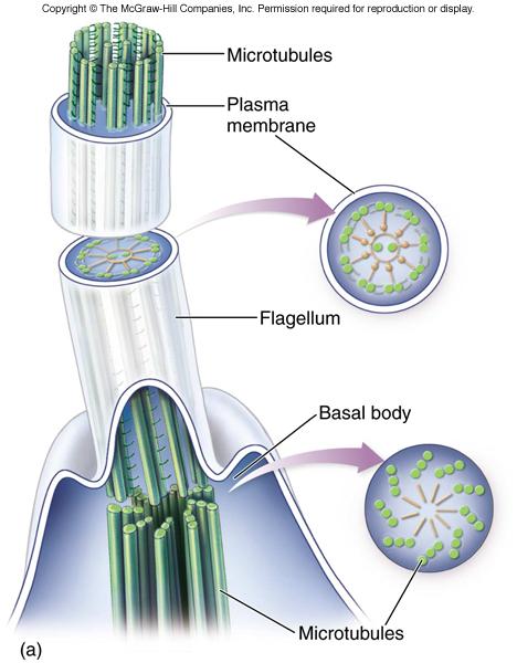 Cilia And Flagella 9 2 Arrangement